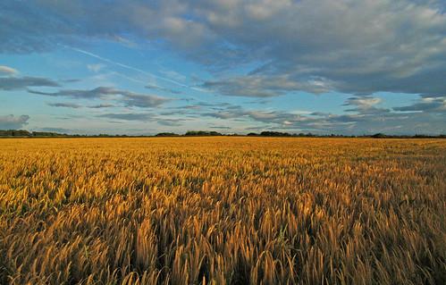 Corn fields. Photo by http://www.flickr.com/photos/jimmediaart/