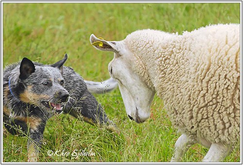 Caisa learns how to herd sheep