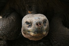 Risaskjaldbaka á Galapagos-eyjum