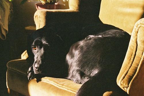 Labrador on a Chair