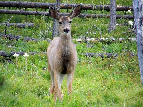 Mule deer doe.
