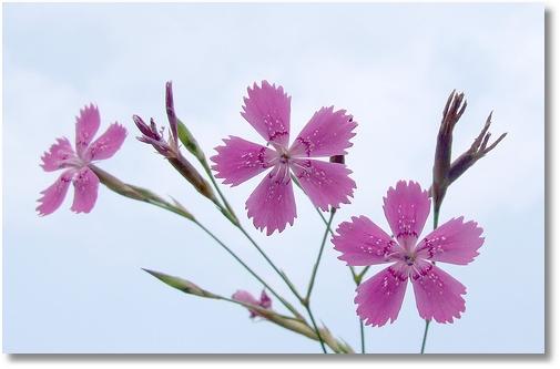 dainthus deltoides