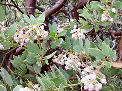 Pointleaf Manzanita blooming in the Mazatzal W...