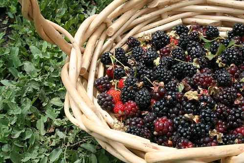 Basket now filling up with olallieberries
