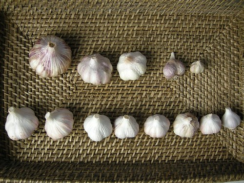 My garlic varieties