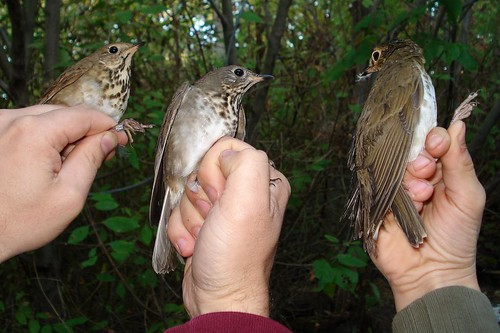The 3 Thrushes