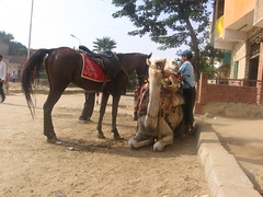 camel, horse, and young guide