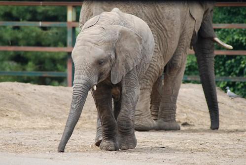 Afrikanischer Elefant im Howletts Wild Animal Park