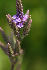 Blue Vervain - for comparison