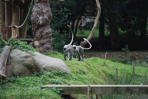 Hanuman-Languren im Zooparc de Trégomeur