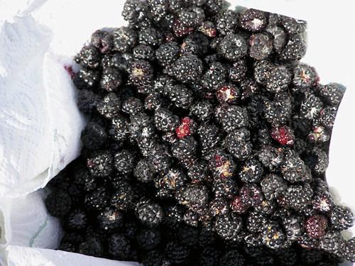 fresh picked blackberries