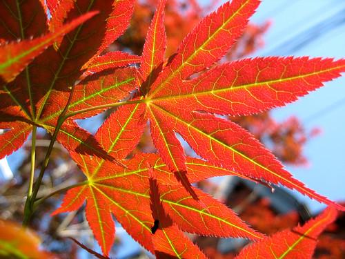 Japanese Maple in Toronto