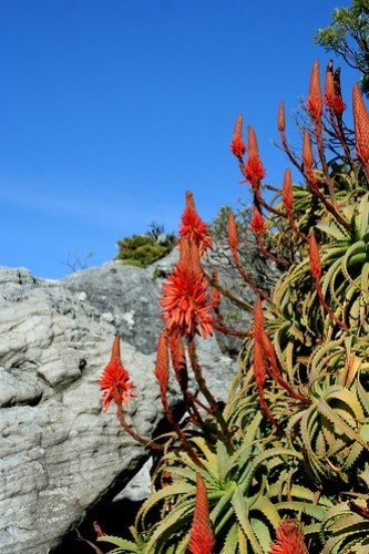 SOME FLOWERS BLOOMING IN WINTER IN CAPETOWN/TABLE MOUNTAIN