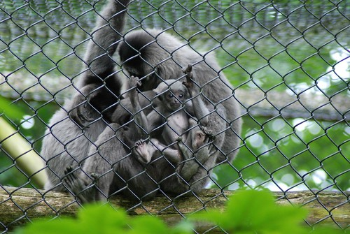 Silbergibbons im Howletts Wild Animal Park