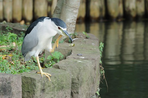 夜鷺 Black-crowned Night Heron