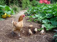 Hen with chicks in the garden