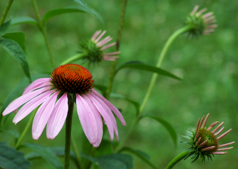 Coneflower & Buds