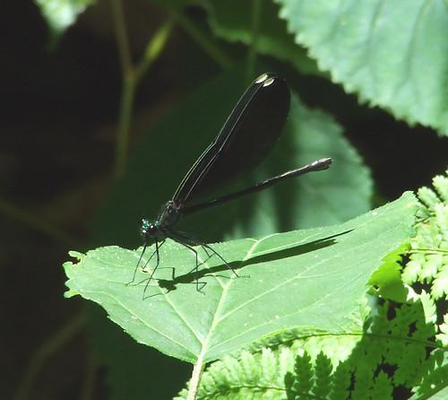 ebony jewelwing female