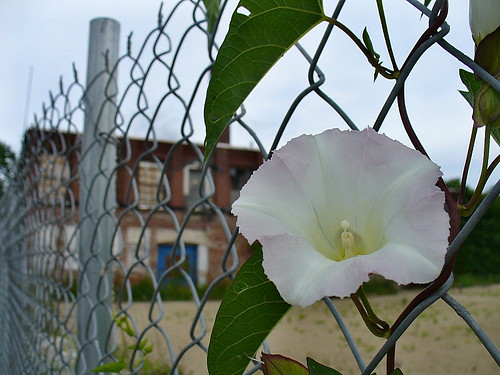 Bindweed on chain-link
