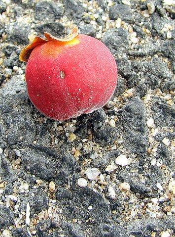 berry on the road near ranganathittu