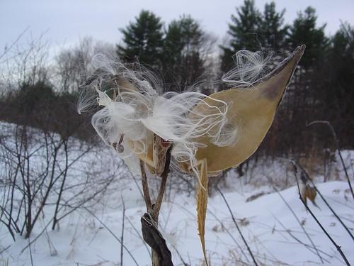 Empty milkweed pods