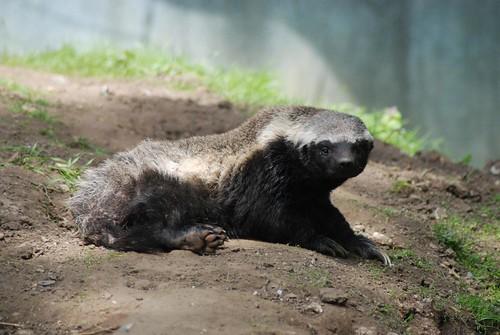 Honigdachs Winnie im Howletts Wild Animal Park