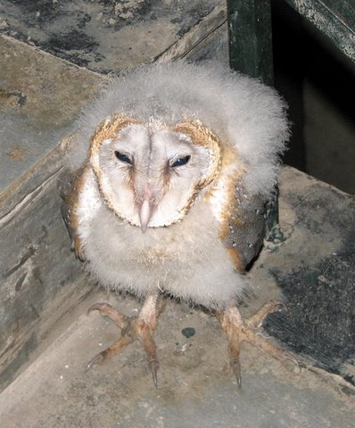 baby barn owl 200907 casa ansal