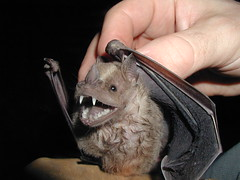 White-Shouldered Bat