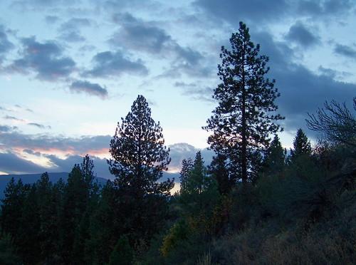 Tall pines at dusk