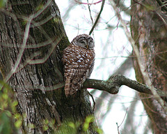 Barred Owl-by Hard-Rain