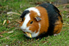 Guinea pig by Seismic_2000