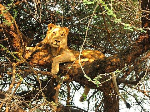Tree-climbing Lion of Lake Manyara