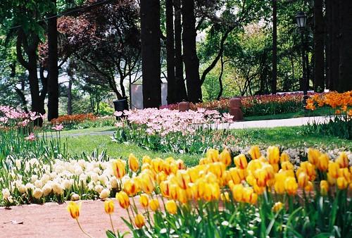 tulips, istanbul