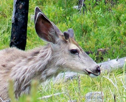 Mule deer buck (yearling)