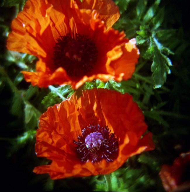 Van Dusen poppies