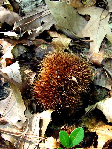 American chestnut burr