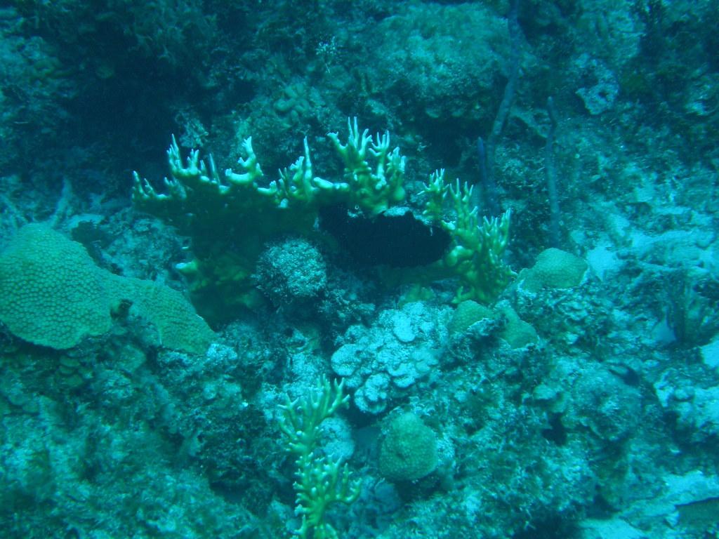 Coral de fuego (Millepora alcicornis)