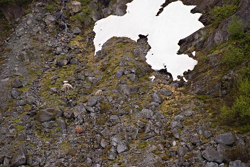 Mountain Goats Herbert