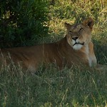 "Lioness <a style=""margin-left:10px; font-size:0.8em;"" href=""http://www.flickr.com/photos/36521966868@N01/1482224332/"" target=""_blank"">@flickr</a>"