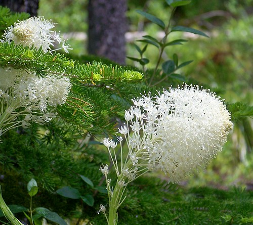 Bear grass and fir needles