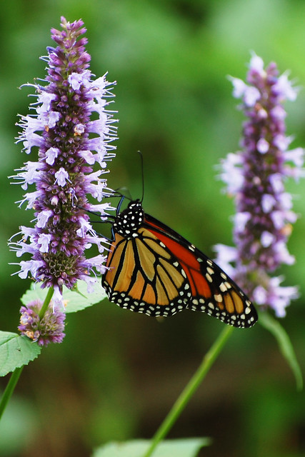 Agastache 'Black Adder' & Monarch Butterfly