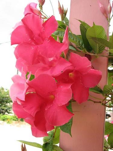 pink flwer