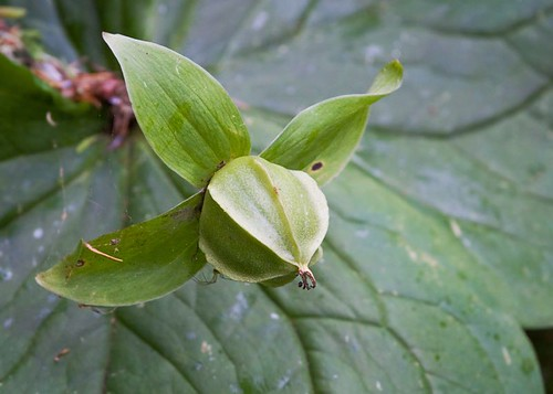 Trillium seed