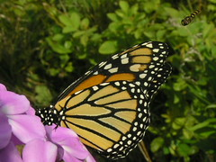 Monarch Butterfly In Purple Garden Phlox