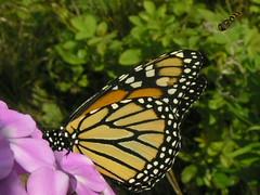 Monarch Butterfly In Purple Garden Phlox