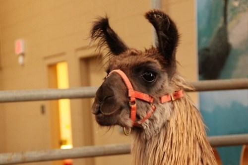 san diego county fair llama