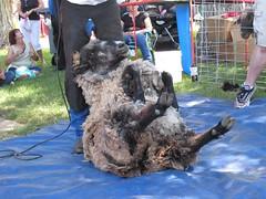 2007Jul28_SheepShearing08