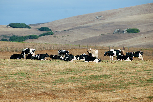 The happy cows of Point Reyes