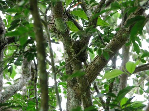 Mistletoe attachment