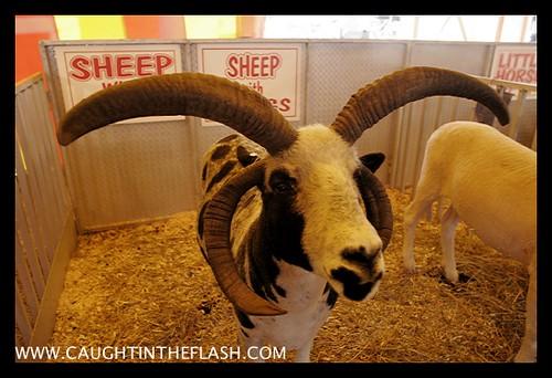 Mont. County Fair  _MG_4966.jpg